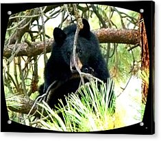 Young Black Bear Acrylic Print by Will Borden
