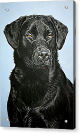 Young Black Labrador Acrylic Print by Lucy Swinburne