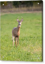 Acrylic Print featuring the photograph Young Buck by Art Whitton