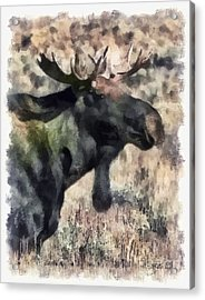 Young Bull Moose Acrylic Print by Clare VanderVeen