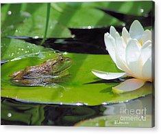 Young Bullfrog Acrylic Print