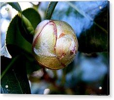 Young Camellia Acrylic Print