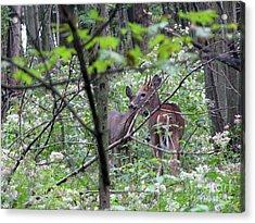 Young Deer In Flossmoor Forest Acrylic Print by Cedric Hampton