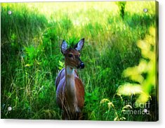 Young Deer Acrylic Print by Peggy Franz