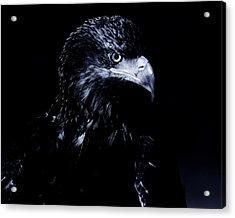 Young Eagle Acrylic Print