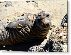 Young Elephant Seal Molting . 7d16091 Acrylic Print by Wingsdomain Art and Photography