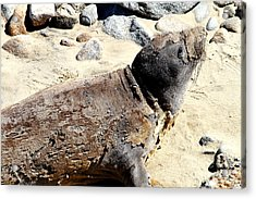 Young Elephant Seal Molting . 7d16118 Acrylic Print by Wingsdomain Art and Photography
