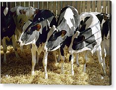 Young Friesian Dairy Cows Acrylic Print by Colin Cuthbert