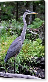 Young Great Blue Heron Acrylic Print