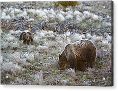 Young Grizzly Cubs Play As Their Mother Acrylic Print by Drew Rush