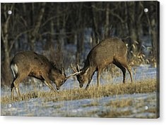 Young Male Sika Deer Practice Sparring Acrylic Print by Tim Laman