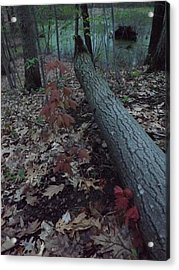 Acrylic Print featuring the photograph Young Maple At The Swamp by Gerald Strine