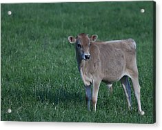 Acrylic Print featuring the photograph Young Moo by John Crothers