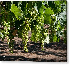 Young On The Vine Acrylic Print by Kent Sorensen