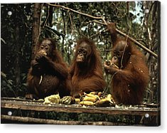 Young Orangutans Eat Together Acrylic Print by Rodney Brindamour