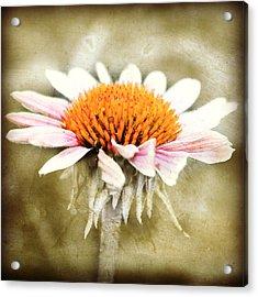 Young Petals Acrylic Print by Julie Hamilton
