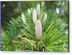 Young Pine Cones Acrylic Print by Anne Mott