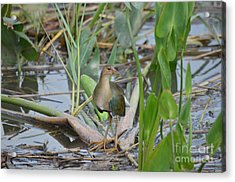 Young Purple Gallinule Acrylic Print by Kathy Gibbons