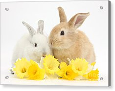 Young Rabbits With Daffodils Acrylic Print