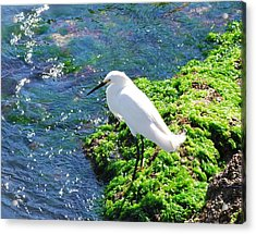 Young Snowy Egret Acrylic Print