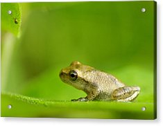 Young Spring Peeper Pseudacris Crucifer Acrylic Print by Steeve Marcoux
