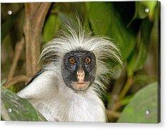 Zanzibar Red Colobus Monkey Acrylic Print by Tony Camacho