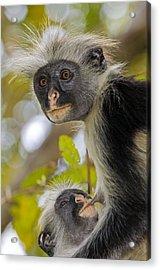 Zanzibar Red Colobus Monkeys Acrylic Print by Tony Camacho
