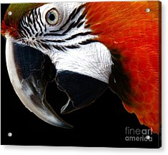 Zazzo The Macaw Acrylic Print by Kevin Moore