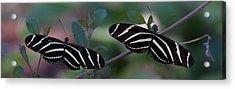 Zebra Butterflies Acrylic Print by C Thomas Willard