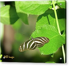 Acrylic Print featuring the photograph Zebra Butterfly by Margaret Buchanan