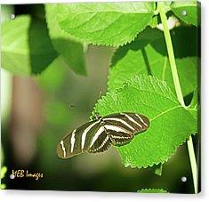 Zebra Butterfly Acrylic Print by Margaret Buchanan