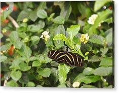 Zebra Butterfly Acrylic Print by Marianne Campolongo