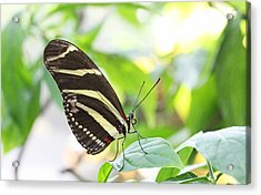 Zebra Longwing Butterfly Acrylic Print by Becky Lodes