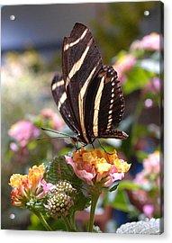 Zebra Longwing Butterfly Acrylic Print by Diane Giurco