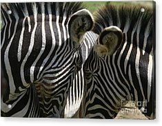 Zebra Lovers Acrylic Print by Carol Wright