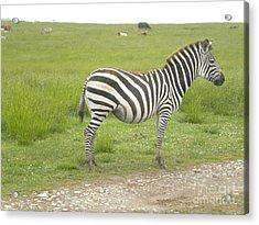 Zebra Print Acrylic Print by Tessa Priddy