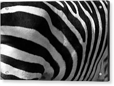 Acrylic Print featuring the photograph Zebra Stripes by Cindy Haggerty