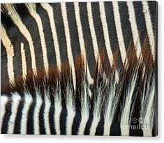 Zebra Stripes Acrylic Print by Methune Hively