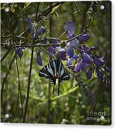 Zebra Swallowtail Butterfly 2 Acrylic Print