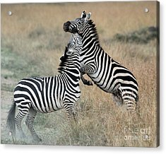 Zebras Fighting Acrylic Print by Alan Clifford