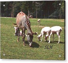 Zebra's Grazing Acrylic Print by Lee Hartsell