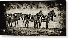 Zebras In A Row Acrylic Print by Jess Easter