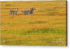 Acrylic Print featuring the photograph Zebras by Tonia Noelle
