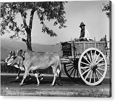 Zebu Cart Acrylic Print by Richard Harrington
