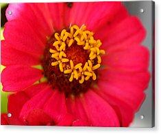 Acrylic Print featuring the photograph Zinnia Blossom by Paula Tohline Calhoun