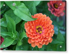 Zinnia Flower Stages Of Life Acrylic Print by Bonnie Boden