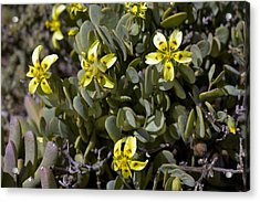 Zygophyllum Cordifolium Flowers Acrylic Print by Bob Gibbons