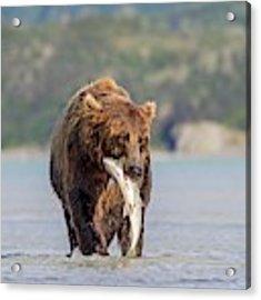 Brown Bear With Salmon Acrylic Print
