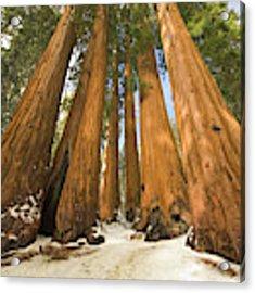 Giant Sequoias Sequoia N P Acrylic Print by Yva Momatiuk John Eastcott