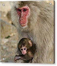 Snow Monkeys, Japan Acrylic Print